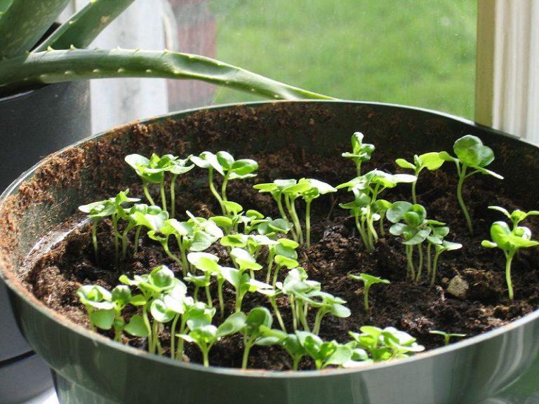 Сколько семечек бальзамина посадить на рассаду в один горшочек 83